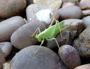 Female oak bush-cricket