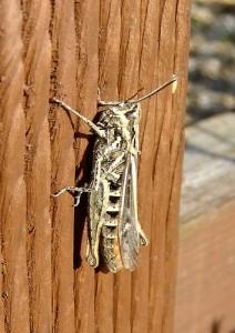 Field grasshopper