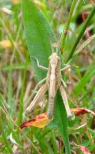 Field grasshopper nymph