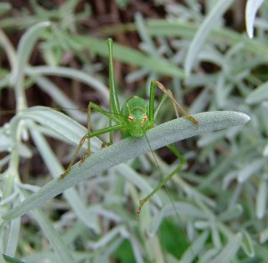 Female speckled bush-cricket