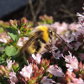 Bombus lucorum (male)