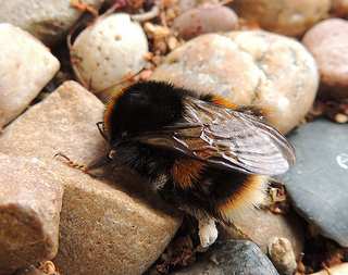 Bombus terrestris (queen)